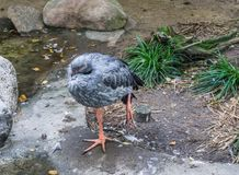 Big grey tropical bird standing on one leg and balancing. A big grey tropical bird standing on one leg and balancing royalty free stock image