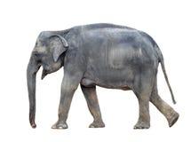 Big grey walking elephant isolated on white background. Standing elephant full length close up. Female Asian elephant Royalty Free Stock Photo