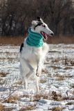 Big Greyhound in a turquoise scarf running across royalty free stock photography