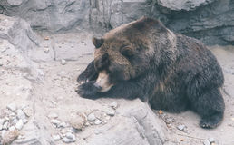 Big grizzly bear sleeping on the ground. Royalty Free Stock Photos