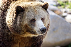 Big grizzly portrait Stock Images