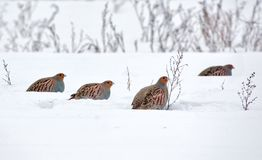 Big groep of Grey Partridges in search of tasty seeds in snow covered field. Big flock of Grey Partridges eating seeds on snow in winter royalty free stock photos