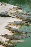 The big group of adult crocodiles laying on the sand with open mouths with many theeth, half bodies in the water. Natural outdoor. Zoo, Thailand. Colose up stock images