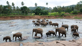 Big group bathing elephants. Big group elephants playing and bathing in streaming water Royalty Free Stock Photo