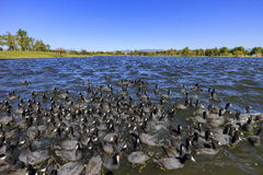 Big group of Black coot Royalty Free Stock Photography