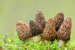 Big group of Black morel mushrooms. Big group of six nice and healthy specimen of Black Morel or Morchella conica mushrooms in a moss against blured, green Stock Photos