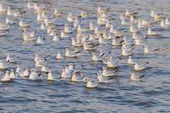 Big group of  Brown-headed gull Royalty Free Stock Images
