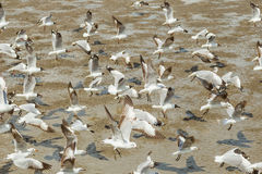 Big group of  Brown headed Gull Stock Images