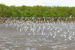 Big group of Brown headed Gull flying Royalty Free Stock Photography