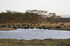 Big group of buffaloes Royalty Free Stock Photos