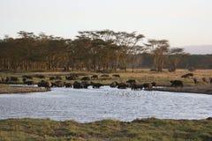 Big group of buffaloes Royalty Free Stock Photos