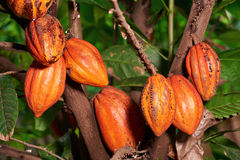 Big group cacao pods. Hanf on tree. Orange color cocoa fruit pods close-up stock photos