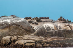 Big group of Cape Fur Seal at , Hout bay harbor, Cape Town, South Africa Stock Images