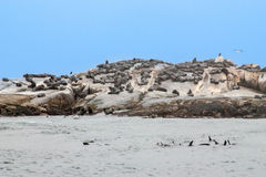 Big group of Cape at Seal island, Hout bay harbor, Cape Town, South Africa Royalty Free Stock Photography