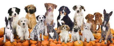 Big group of dogs sitting on pumpkins Stock Photography