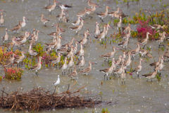 Big group of Eastern Black-tailed Godwit Royalty Free Stock Image