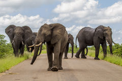 Big group of elephants walking in the middle of the road in savannah. Kruger, South Africa royalty free stock photo