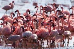 Big group flamingos on the lake. Kenya. Africa. Nakuru National Park. Lake Bogoria National Reserve. An excellent illustration Stock Photography