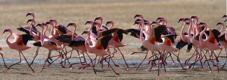 Big group flamingos on the lake. Kenya. Africa. Nakuru National Park. Lake Bogoria National Reserve. An excellent illustration Stock Photo