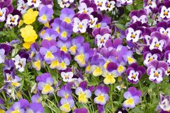 Pansies Viola tricolor blue yellow, purple white Stock Images
