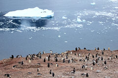 Big group of Gentoo penguins in Antarctic Peninsula Stock Photo