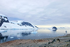 Big group of Gentoo penguins in Antarctic Peninsula Stock Photos