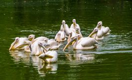 Big group of great white pelicans floating in the water together, common water bird specie from Eurasia. A big group of great white pelicans floating in the stock photos