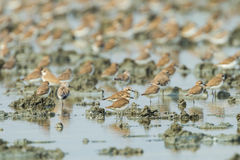 Big group of Lesser Sand Plover Stock Image