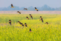 Big group of  Lesser whistling duck Stock Photos