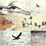 Big group op seagulls take of from the beach at sunset, alone seagull fly away, set of images of wild nature Stock Photo