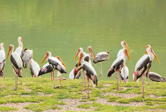 The big group of Painted Stork Royalty Free Stock Images