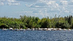 Big group of pelicans. Big group of fishing pelicans in the Danube Delta stock photo
