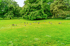 Big group of pigeons at park. (Horizontal View Royalty Free Stock Image