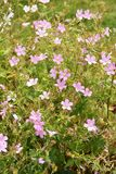 Pink Geranium oxonianum flowering outdoor Royalty Free Stock Photos