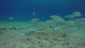 Saddled Sea Breams Eating Calamari Underwater. Big Group Of Saddled Sea Breams Eating Calamari Off The Sandy Seafloor. Deep Blue Sea Horizon. Underwater Aegean stock video