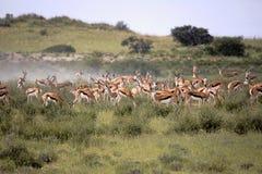 Big group Springbok, Antidorcas marsupialis, pasture, Kalahari South Africa. Group Springbok, Antidorcas marsupialis, pasture, Kalahari South Africa Royalty Free Stock Photos