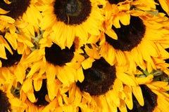 Big group of sunflowers Stock Photos