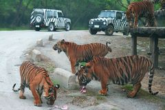 The big group of tigers in Thailand outdoor Zoo are fed with raw meat from the cars. Copy space royalty free stock images