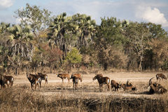 Big group of waterbuck in the savanna of Gorongosa National Park. A big group of waterbuck on the savanna of the National Park Gorongosa in the center of Stock Photo