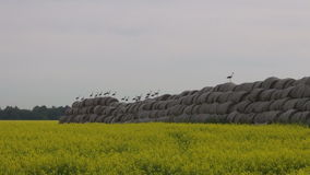 Big group white storks on straw bales and rapeseed field Stock Photos