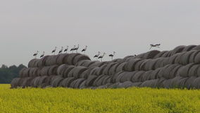 Big group white storks on straw bales and rapeseed field Stock Image