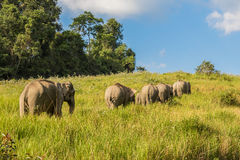 Big group of  Wild Elephant Stock Image