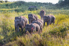 Big group of Wild Elephant walking down Royalty Free Stock Photo