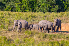Big group of  Wild Elephant walking Royalty Free Stock Photography