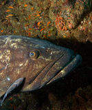 Big grouper Royalty Free Stock Photo