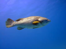 Big grouper. In blue. Red Sea royalty free stock photography