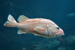 Big grouper Royalty Free Stock Image