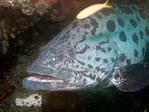 Big grouper Stock Photo