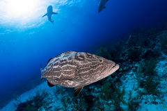 Big grouper close up and reef shark on background, scuba diving Stock Photography