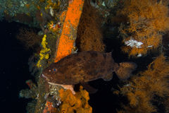 Big grouper in a wreck Stock Images